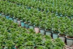 Small marigold flower plant Royalty Free Stock Photos