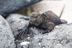 Small marine iguana Stock Photos