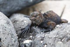 Small marine iguana Stock Image