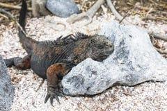 Small marine iguana Royalty Free Stock Images