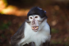 Small marmoset closeup Royalty Free Stock Photography