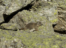 Small Marmot Royalty Free Stock Photos