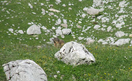Small marmot amorg the stones Stock Images