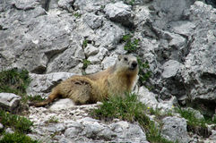Small marmot amorg the stones Royalty Free Stock Photo