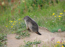 Small marmot in front of the den Royalty Free Stock Photography