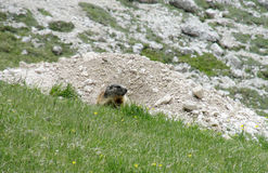 Small marmot in the green Royalty Free Stock Images