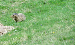 Small marmot in the green Stock Images