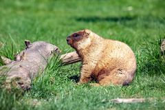Small wild marmot royalty free stock photos
