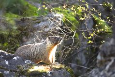 Small marmot on a rock. Stock Images