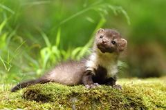 Small marten Royalty Free Stock Images