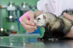 Small marten to the vet Royalty Free Stock Photo
