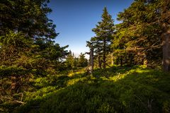 Small meadow with pine trees, green grass and dark blue sky near Serak in Jeseniky royalty free stock images