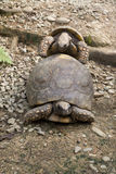 Tortoise Copulating. A small and medium sized Tortoise copulating Royalty Free Stock Photography