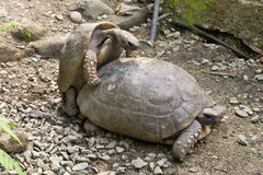 Tortoise Copulating Royalty Free Stock Photography