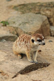Small meercat resting Stock Photos