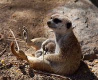 Small Meerkat with baby in lap Stock Images