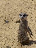 Small meerkat. photo Stock Image