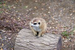 Small Meerkat sitting and looking on top of log. Stock Photos