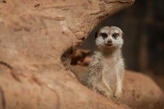 Small meerkat or suricate (Suricata suricatta) Royalty Free Stock Photos