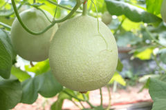 Small melons at farm in thailand.  stock photos