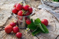 Metal bucket with strawberries in the garden royalty free stock photos