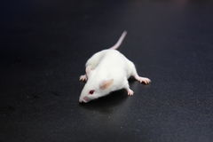 A small mice Royalty Free Stock Image