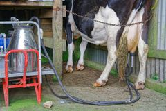 Milking a Friesian cow, New Zealand royalty free stock photography