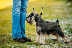 Small Miniature Schnauzer Dog Zwergschnauzer Stock Image
