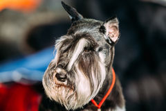 Small Miniature Schnauzer Dog Zwergschnauzer Stock Photography