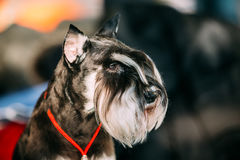 Small Miniature Schnauzer Dog Zwergschnauzer Stock Photography