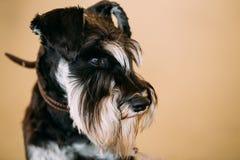Small Miniature Schnauzer Dog Zwergschnauzer Royalty Free Stock Photography
