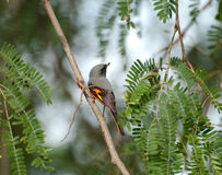 Small minivet Royalty Free Stock Photo