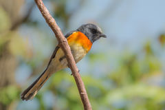 Small Minivet bird Stock Photos
