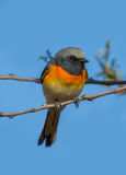 Small Minivet bird Stock Image
