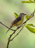 Small Minivet female bird Stock Photography