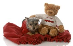 Small mixed breed dog. Best friends - small mixed breed yorkshire terrier cross with stuffed teddy bear Stock Photos