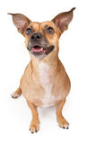 Small Mixed Breed Dog Royalty Free Stock Images