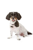 Small Mixed Breed Dog. An adorable black and white mixed small breed dog sitting down against a white backdrop royalty free stock photography