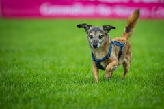 Small mixed breed dog Royalty Free Stock Photos