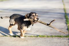 Small mixed breed dog running with stick. In mouth royalty free stock photos