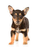 Small mixed breed puppy dog standing in front. isolated on white Stock Photography