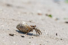 Small mollusk hermit crab crawling out of shell royalty free stock image