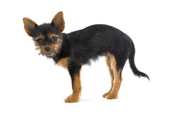 Small mongrel dog. Side view of cute small mongrel dog isolated on white background stock photo