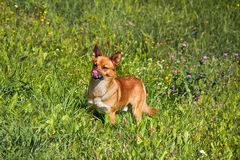Small mongrel dog on walk in meadow. Varied behavior of domestic animals (dogs stock photos