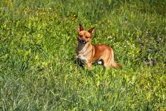 Small mongrel dog on walk in meadow. Varied behavior of domestic animals (dogs royalty free stock image
