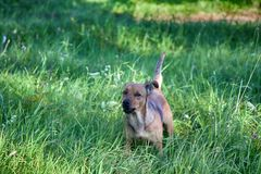Small mongrel dog on walk in meadow. Varied behavior of domestic animals (dogs stock images
