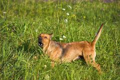 Small mongrel dog on walk in meadow. Varied behavior of domestic animals (dogs stock photo