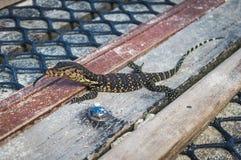Small monitor  lizard Royalty Free Stock Photo