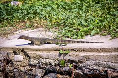 Small monitor lizard sunning on a ledge Royalty Free Stock Photos