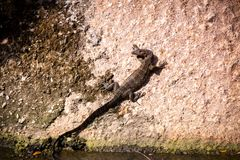 Small monitor lizard sunning on a ledge Stock Photos